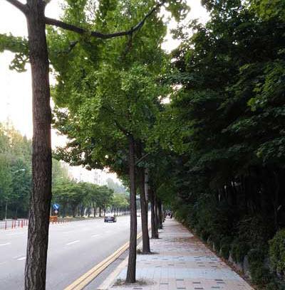 [낙서장] 은행나무는 정말로 해로운 나무일까?